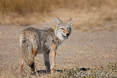 an analysis of coyote Analysis of coyote mitochondrial dna genotype frequencies: estimation of the effective number of alleles niles  coyote tissue samples are easy to obtain from which high molecular weight dna can be extracted this is a result of the high quantity of individuals which are.