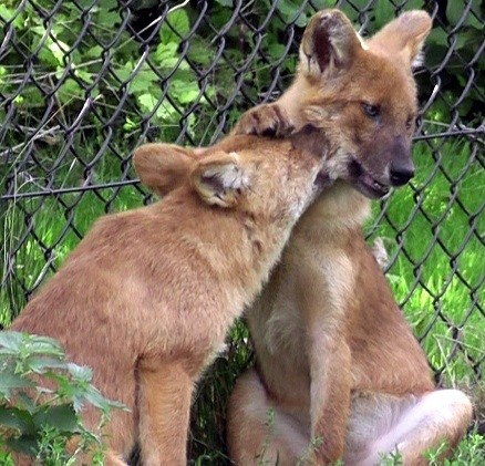 Use of play signals, attention-getting behaviour and the effect of play initiation on the course of play in dholes (Cuon alpinus).