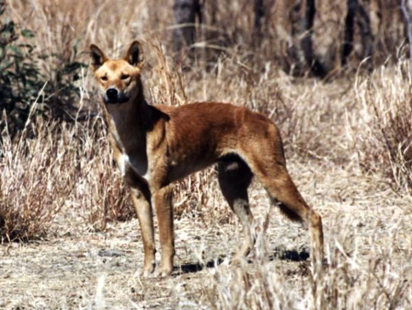 Dingo Canis Lupus Dingo