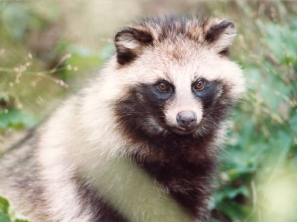 Raccoon dog | Canids