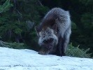 a Sierra Nevada red fox at Crater Lake National Park – Photo credit: Elena Thomas, NPS (May 2009)