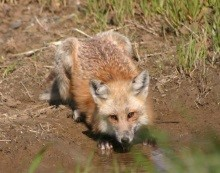Testing habitat models for the endemic Sacramento Valley red fox (Vulpes vulpes patwin)